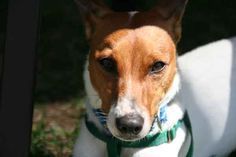 My new Irish Jack Russell, Guinness!  Isn't he handsome!