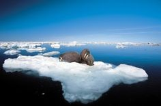Nunavut, Canada - For thousands of years, the Inuit have coexisted with walruses, polar bears, and seals in Nunavut, a 1.2 million-square-mile Arctic region. Both humans and mammals rely on the ice, but rising temperatures over the next century are expected to keep the sea ice melted for most of the year, threatening the region's wildlife and indigenous population.
