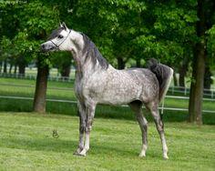 Empire (ENZO X EMIRA) 2009 grey stallion