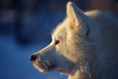 Husky   Winter Tours to Finland