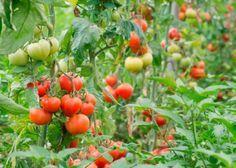 10rad, jak předcházet plísňovým chorobám rajčat: plísnibramborové (Phytophthora infestans)a plísni šedé(Botrytis cinerea) nebolo šedé hniloby rajčat Vegetables, Gardening, Garten, Vegetable Recipes, Lawn And Garden, Horticulture