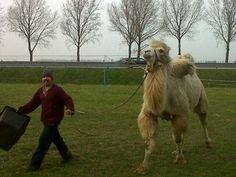 Ook nog een kameel tegen het lijf gelopen!  Circus Renz International geeft donderdag 11 tot en met zondag 14 april 2013 voorstellingen aan de Mercurion in Zevenaar. via @DannyvdKracht.