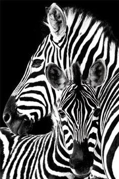 Zebra | 24x36 Maxi Poster GB Posters http://www.amazon.com/dp/B009SM6KZA/ref=cm_sw_r_pi_dp_NWM.wb1YSTR92