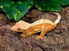 """Creamsickle"" Orange and Cream Crested Gecko"