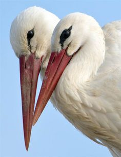 Getting cozy Two white storks are perched beak to beak in their nest, near Biebesheim, Germany, on March Birds In The Sky, All Birds, Love Birds, Beautiful Birds, Animals Beautiful, Animals Of The World, Animals And Pets, Cute Animals, Stork Bird