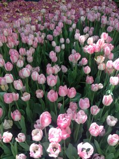Pink tulip flowers background.