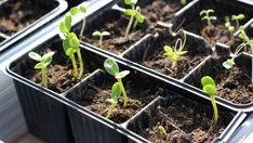 Răsadurile de legume: de la semănat la plantare. Ghid de îngrijire pentru agricultori - BASF Agricultural Solutions România Starting Seeds Indoors, Cold Frame, Garden Seeds, Seed Starting, Organic Farming, Sustainable Architecture, Spring Garden, Solar, Landscape