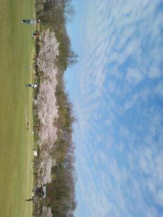 playground and cherry trees