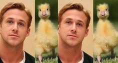 Ryan Gosling vs an Actual Gosling