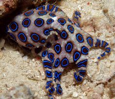 This is a blue ringed octopus they are one of my favorite marine animals and they are so cute and small but in this picture it is mad and you can tell by all of the blue rings. Underwater Creatures, Underwater Life, Ocean Creatures, Scary Sea Creatures, Beautiful Sea Creatures, Animals Beautiful, Deadly Creatures, Fauna Marina, Beautiful Fish