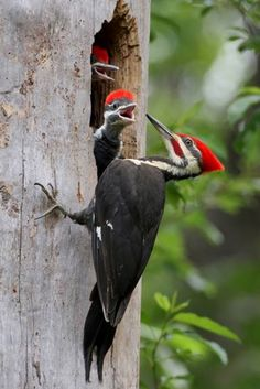 Male Pileated Woodpecker (Dryocopus pileatus) at his nest by Robert Mislan