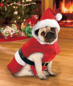 Invite Santa Paws over for Christmas with this high-quality dog costume. Pugs In Costume, Dog Costumes, Christmas Animals, Christmas Dog, Xmas, Cute Puppies, Cute Dogs, Baby Animals, Cute Animals
