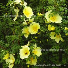 Forest Xanthina Yellow Flower Seeds Rosa Rosa Cimei Seed Red Seed Real Locations 0.2kg/lot