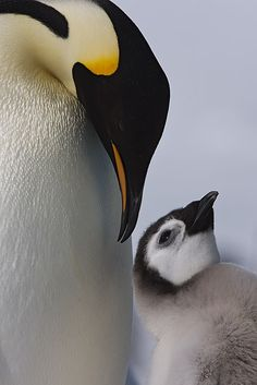 Emperor Penguins ~photo by wild encounters== I think baby penguins are some of the cutest things on the planet