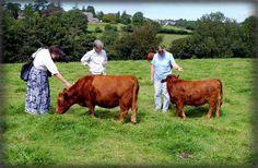 Little Gormellick Farm, home to the Dexter pedigree cattle herd Dexter Cattle, Selective Breeding, Big Bertha, Beef Cattle, Friesian, Small Farm, Small Breed, Farm Animals, North America