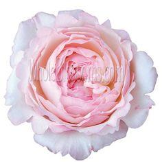 Keira Garden Rose Pink Flower