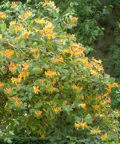 Honeysuckle 'Goldflame' | Specials from Bakker Spalding Garden Company