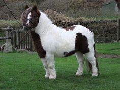 Shetland Pony stallion, Kerswell Sage.