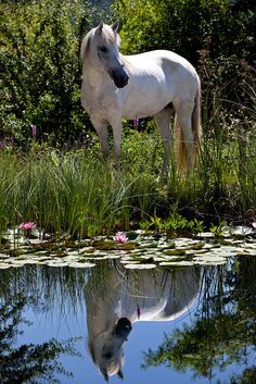 White horse - Reflection - from Han Pfleger