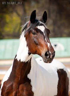 A paint horse full of character. Painted Horses, Most Beautiful Horses, All The Pretty Horses, Cute Horses, Horse Love, Beautiful Creatures, Animals Beautiful, Cheval Pie, Types Of Horses