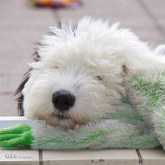 LOVE is...a sheepie, esp a puppy  m.b.