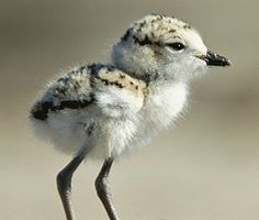 snowy plover chick (this is what keeps me off big portions of the beach in Morro Bay).. they are cute though. :)http://pinterest.com/#