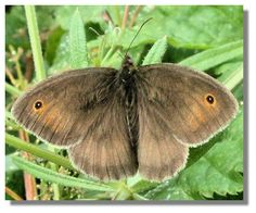 Butterflies of Scotland - Meadow Brown Scotland, Flora, Wildlife, Butterfly, Brown, Insects, Painting, Birds, Nature