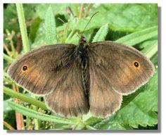 Butterflies of Scotland - Meadow Brown Natural World, Moth, Scotland, Flora, Wildlife, Butterfly, Brown, Garden, Nature