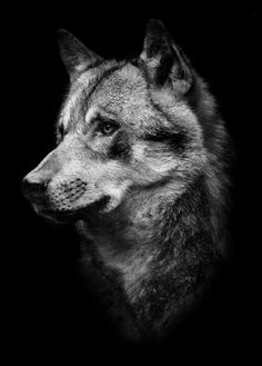 Best t-shirts, mugs, hoodies and gift items only for Wolf Lovers Wolf Black And White, Animals Black And White, Be Wolf, Wolf Love, Animal Sketches, Animal Drawings, Animals And Pets, Cute Animals, Wolf Poster