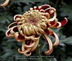 Irregular Incurve Chrysanthemum - embroidery inspiration