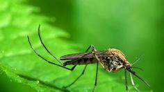 What you need to know about the Zika virus #mosquitoes #ZikaVirus