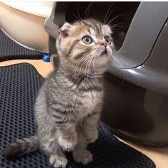 Cute Baby Cats, Cute Kitten Gif, Cute Kittens, Cute Funny Animals, Cats And Kittens, Munchkin Kitten, Baby Lulu, Cat Dog, Kawaii Cat
