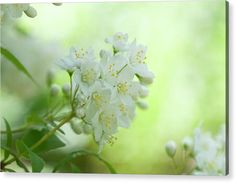 Acrylic Print featuring the photograph White Blooms Of Slender Deutzia 5 by Jenny Rainbow Art Prints For Home, Fine Art Prints, Thing 1, Wall Anchors, Acrylic Sheets, Got Print, Any Images, Beautiful Artwork, Fine Art Photography