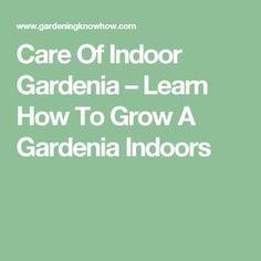 Care Of Indoor Gardenia – Learn How To Grow A Gardenia Indoors