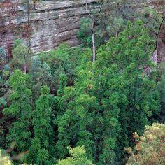 Wollemi pine - FineGardening