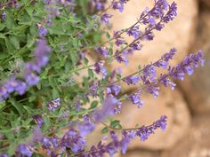 Catmint (perennial zones 3 - The plant has rich blue flowers that stand up to heat and drought. Plus, after they finish blooming, you can shear the plant back by a third of its height and it'll bloom again in the late summer and early fall. Lavender Flowers, Pretty Flowers, Blue Flowers, Butterfly Flowers, Blooming Flowers, Butterflies, Hardy Perennials, Flowers Perennials, Planting Bulbs