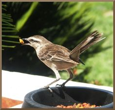 Fauna argentina: Pájaros argentinos.