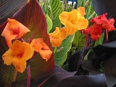 Turn up the heat in your garden design by adding tropical canna lily. Its exotic beauty makes every planting sizzle. Bog Plants, Growing Plants, Garden Plants, Flowering Plants, Bog Garden, Garden Bulbs, Side Garden, Nature Plants, Easy Garden