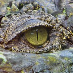 Crocodile's eye