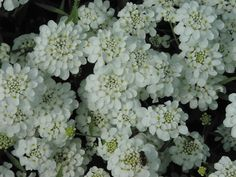 Iberis umbellata 'Candy Cane Series' White Seeds £1.70 from Chiltern Seeds - Chiltern Seeds Secure Online Seed Catalogue and Shop