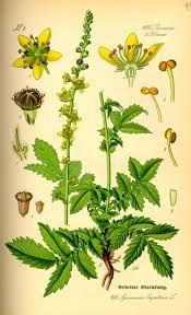 Agrimony is a masculine plant ruled by Jupiter and Air, and used for protection and sleep. Used in sachets, it protects the wearer, especially against negative hexes. It can break the hex and send it back to the one who sent it. Placed underneath the pillow, it will make the person sleep as if dead, but the user will not awaken until the herb is removed.