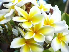 Maui plumeria My absolute favorite scent in the world!