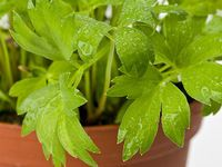 Photo about Lovage plant isolated on white. Image of aroma, leaf, white - 8933389 Mandala Design, Parsley, Pesto, Herbs, Leaves, Creative, Plants, Image, Food