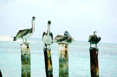 Nossos amigos pelicanos em Los Roques eles estão por todas as partes.  Nuestros amigos pelícanos en Los Roques ellos están por todas partes. Foto: Gustavo Pérez #losroques #caribe #venezuela  #amopraia #brasileirosemlosroques #ilovepraia #beautifuldestinations #destinoslindos #livetravelchannel #bbctravel #lovetheworld #pelomundo #vempelomundoafora #pelomundoviagem #pelicanos #natureza #naturaleza #nature by viajaremaisqpreciso