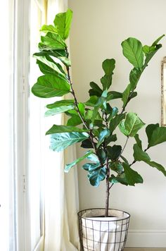 Fiddle Fig tree - I want this for my classroom. I love indoor plants and it would help to keep the air clean.