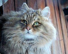 Alla Lebedeva et son mari Sergey tiennent une ferme en Sibérie. Le couple adore les animaux et en particulier les chats sibériens.