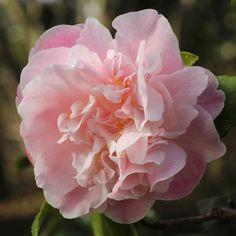 Camellia 'Sweet Emily Kate', 'Sweet Emily Kate' Camellia, Winter Blooming Camellias, Spring Blooming Camellias, Fragrant Camellias, Mid to Late Season Camellias, Pink flowers, Pink Camellias