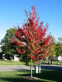 Firefall maple with Miss Kim lilacs under it to screen master bedroom