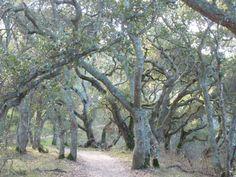 Moss covered oaks, January, Putnam Park, Petaluma.