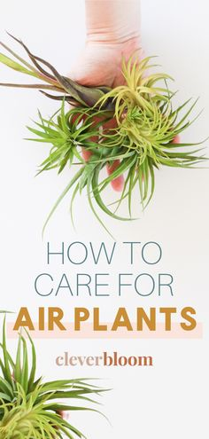 Air Plant are a fun way to bring greenery into your home! These plants do not require soil to live and are super easy to care for. Learn how to care for air plants with Clever Bloom. #airplants House Plant Care, House Plants, Indoor Gardening, Indoor Plants, Air Plants Care, Air Plant Display, Low Maintenance Plants, Planting Flowers, Orchids